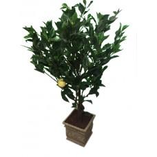 Small Lemon Trees in Planter
